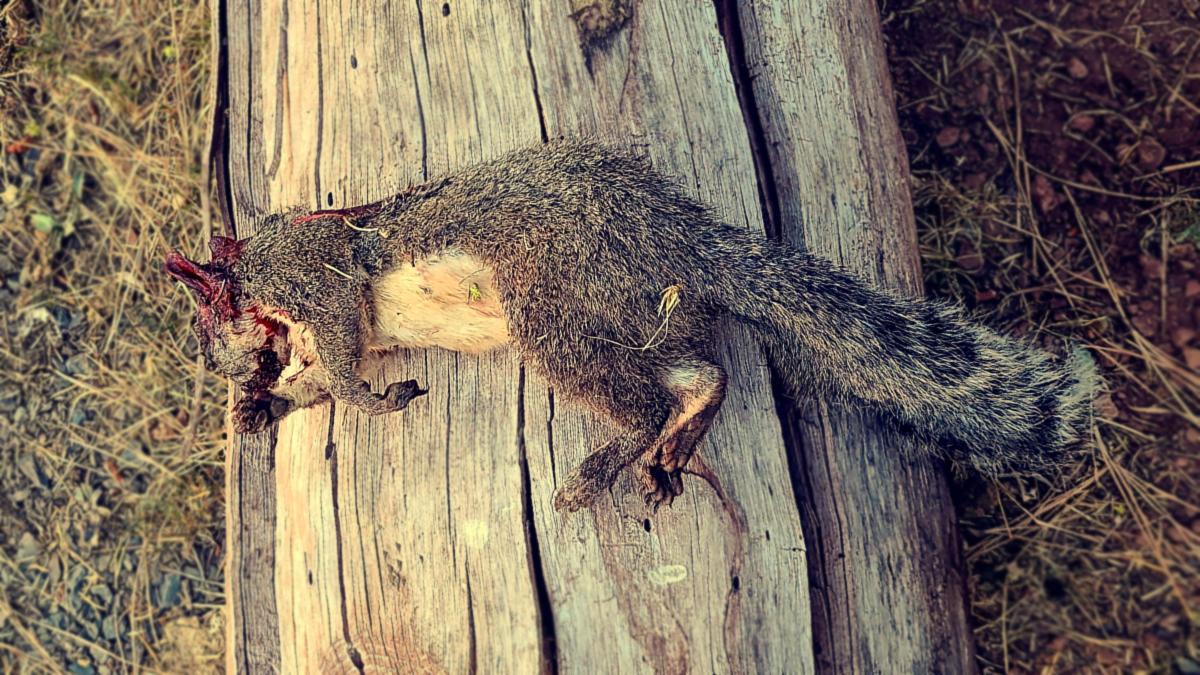 A Boomer Squirrel Taken with a 22lr