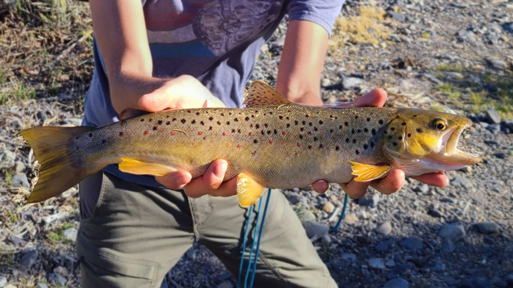 Large Brown Trout Caught on Hane