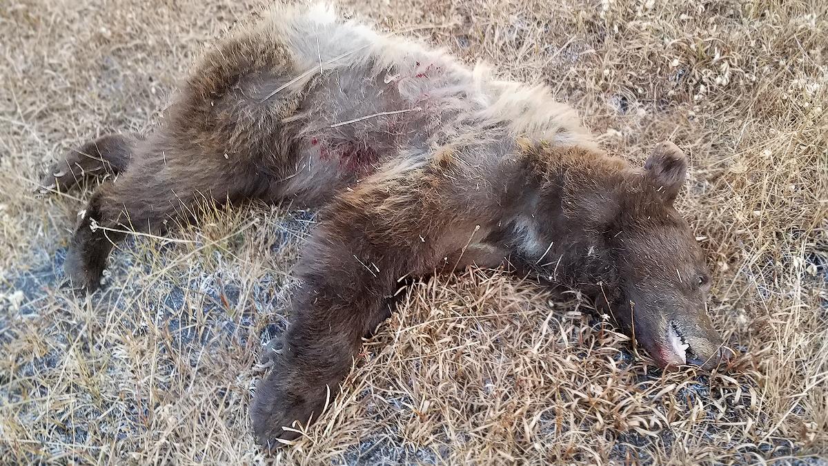 Black Bear Harvested