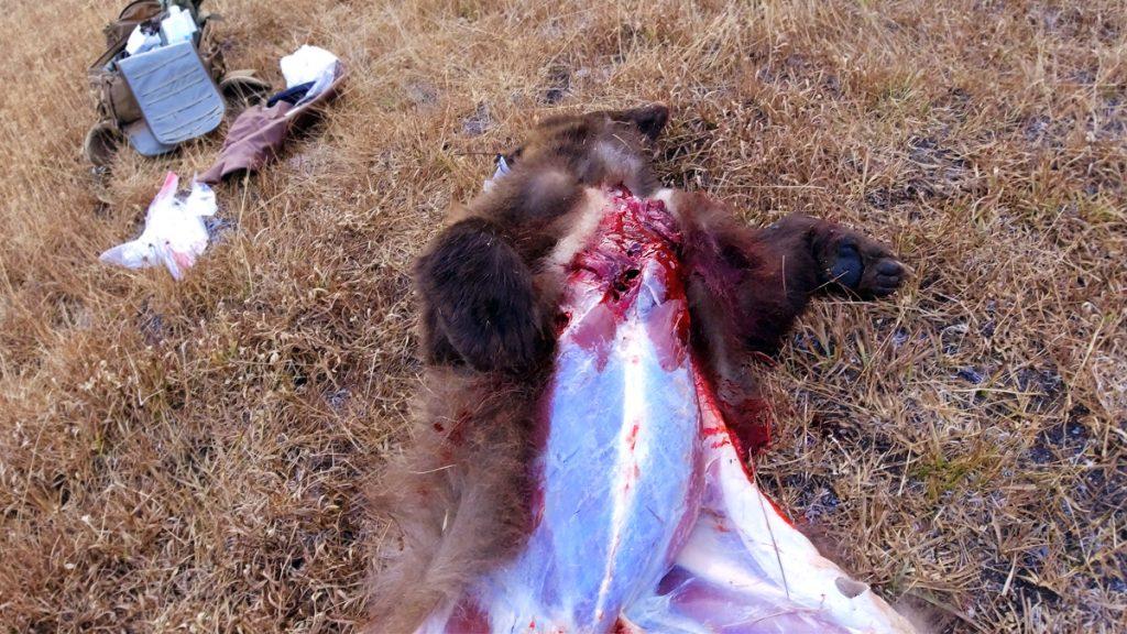 Field Dressing a Black Bear